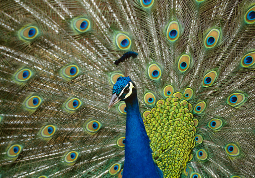 BRD 24 DB0001 01 © Kimball Stock Peacock Displaying Tail Plumage