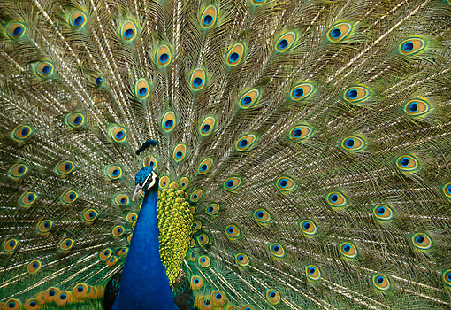 BRD 24 DB0002 01 © Kimball Stock Peacock Displaying Tail Plumage