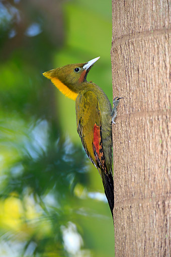 BRD 25 AC0003 01 © Kimball Stock Greater Yellow-Naped Woodpecker Pecking Tree