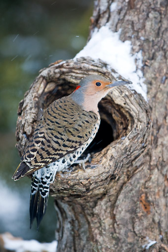 BRD 25 DA0002 01 © Kimball Stock Northern Flicker Male Perched On Dead Tree In Winter