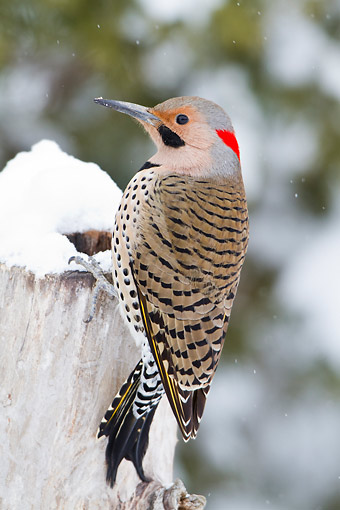BRD 25 DA0003 01 © Kimball Stock Northern Flicker Male Perched On Dead Tree In Winter