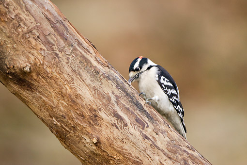 BRD 25 DA0008 01 © Kimball Stock Downy Woodpecker Male Perched On Tree