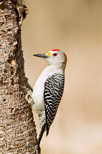 BRD 25 DA0012 01 © Kimball Stock Golden-Fronted Woodpecker Male Perched On Tree Trunk