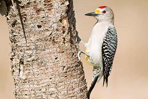 BRD 25 DA0013 01 © Kimball Stock Golden-Fronted Woodpecker Male Perched On Tree Trunk