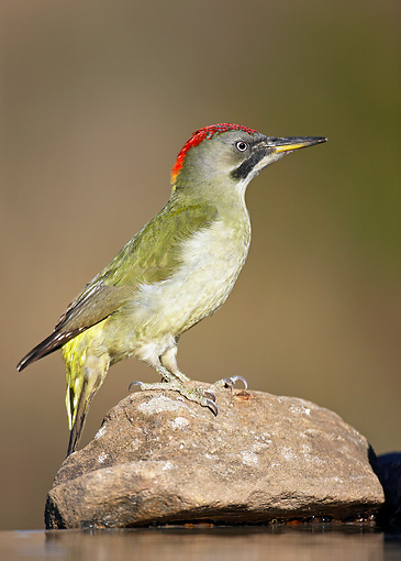 BRD 25 WF0002 01 © Kimball Stock Green Woodpecker Female Standing On Stone Near Water