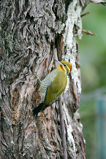 BRD 25 WF0006 01 © Kimball Stock Yellow-Browed Woodpecker Perched On Tree Trunk