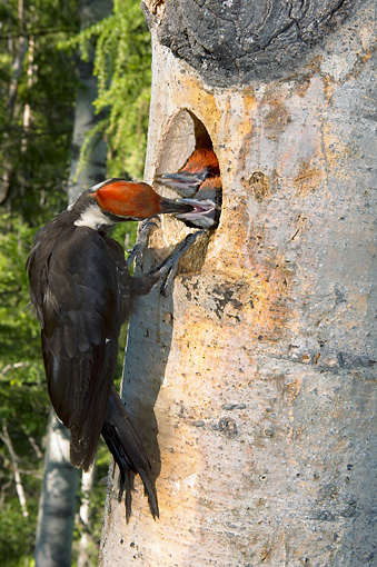BRD 25 NE0004 01 © Kimball Stock Pileated Woodpecker Adult Perching On Tree Feeding Chicks In Nest