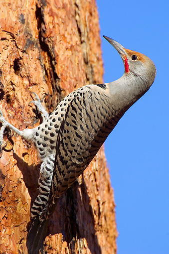 BRD 25 TL0001 01 © Kimball Stock Northern Flicker Searching For Insects On Ponderosa Pine