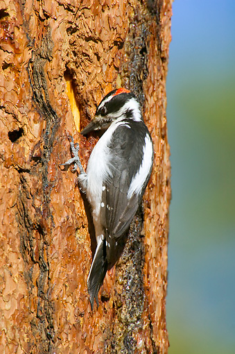BRD 25 TL0002 01 © Kimball Stock Hairy Woodpecker Searching For Insects On Ponderosa Pine