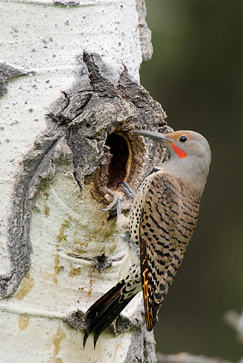 BRD 25 TL0004 01 © Kimball Stock Northern Flicker Perching At Entrance To Nest In Aspen Tree