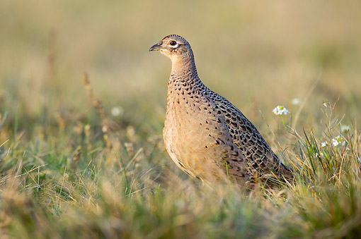 BRD 26 AC0004 01 © Kimball Stock Common Pheasant (Ring-Necked Pheasant) Female Standing In Grass