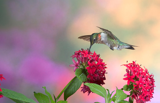 BRD 26 DA0001 01 © Kimball Stock Ruby-Throated Hummingbird Male Feeding On Red Pentas