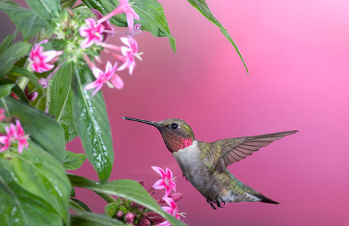 BRD 26 DA0003 01 © Kimball Stock Ruby-Throated Hummingbird Male Feeding On Pink Pentas