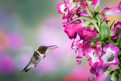 BRD 26 DA0004 01 © Kimball Stock Ruby-Throated Hummingbird Male Flying Near Phoenix Magenta Penstemon