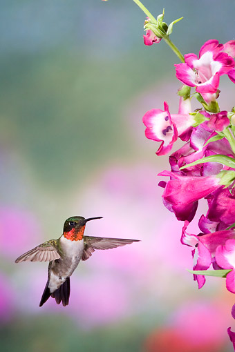 BRD 26 DA0005 01 © Kimball Stock Ruby-Throated Hummingbird Male Flying Near Phoenix Magenta Penstemon