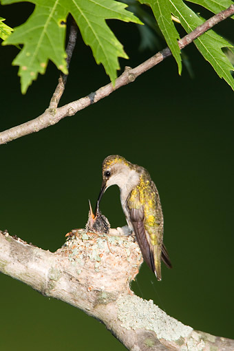 BRD 26 DA0008 01 © Kimball Stock Ruby-Throated Hummingbird Female Feeding Chick In Nest