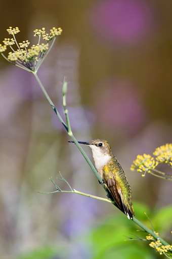 BRD 26 DA0010 01 © Kimball Stock Young Ruby-Throated Hummingbird Perched On Bronze Fennel