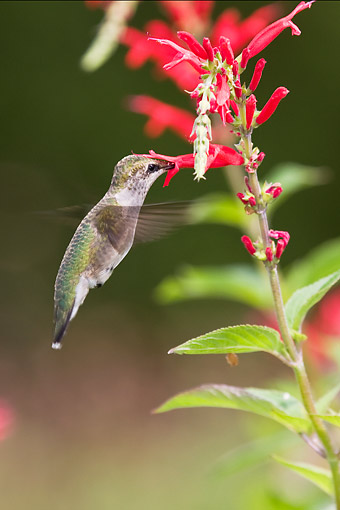 BRD 26 DA0011 01 © Kimball Stock Young Ruby-Throated Hummingbird Feeding On Pineapple Sage