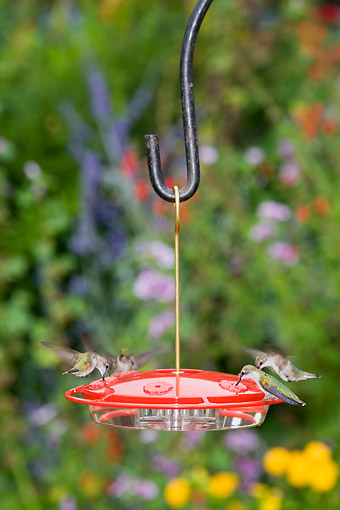 BRD 26 DA0012 01 © Kimball Stock Ruby-Throated Hummingbirds At Feeding At Bird Feeder In Garden