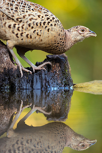 BRD 26 MH0002 01 © Kimball Stock Portrait Of Common Pheasant Standing Near Edge Of Water By Reflection