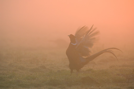 BRD 26 WF0001 01 © Kimball Stock Ring-Necked Pheasant Calling In Morning Mist