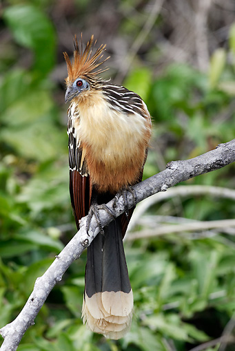 BRD 26 WF0004 01 © Kimball Stock Hoatzin Male Perched On Tree Branch