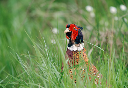 BRD 26 WF0007 01 © Kimball Stock Close-Up Of Common Pheasant Standing In Tall Grass