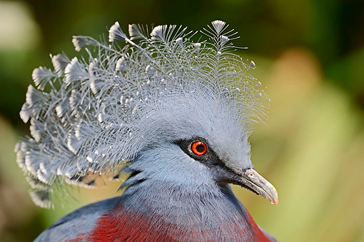 BRD 27 AC0004 01 © Kimball Stock Victoria Crowned Pigeon Portrait