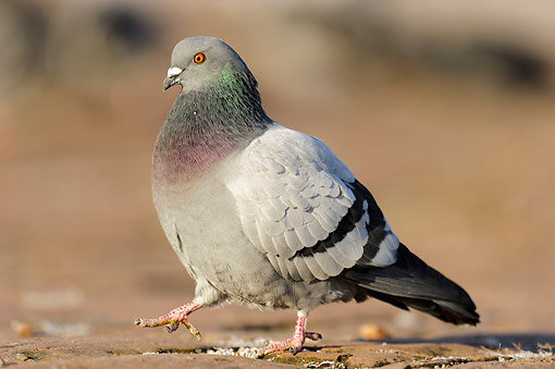 BRD 27 AC0005 01 © Kimball Stock Domestic Pigeon (Feral Dove) Walking On Ground