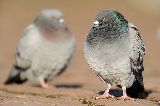 BRD 27 AC0006 01 © Kimball Stock Domestic Pigeons (Feral Dove) Standing On Ground