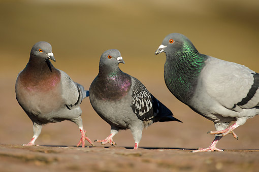BRD 27 AC0007 01 © Kimball Stock Domestic Pigeons (Feral Dove) Standing On Ground