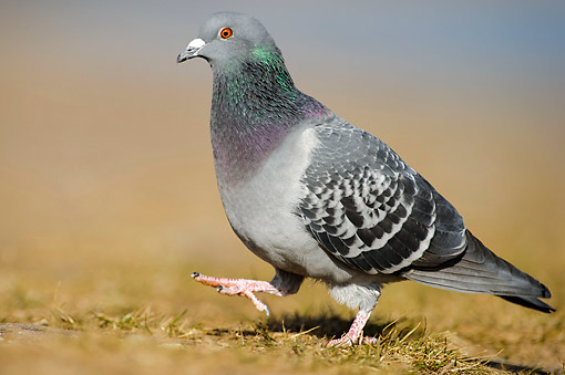 BRD 27 AC0008 01 © Kimball Stock Domestic Pigeons (Feral Dove) Walking On Ground
