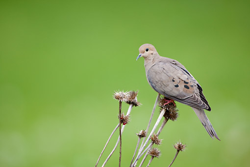 BRD 27 DA0001 01 © Kimball Stock Mourning Dove Perched On Seed Head Of Purple Coneflower