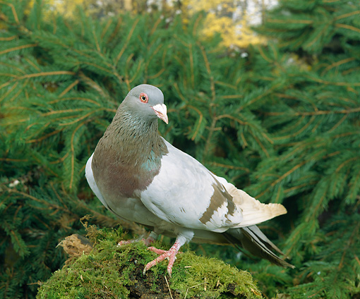 BRD 27 GL0001 01 © Kimball Stock Rock Pigeon Standing On Mossy Log By Evergreen