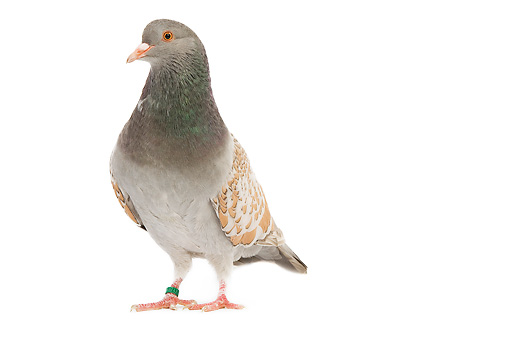 BRD 27 JE0001 01 © Kimball Stock Yellow-Laced Cauchois Pigeon Standing On White Seamless