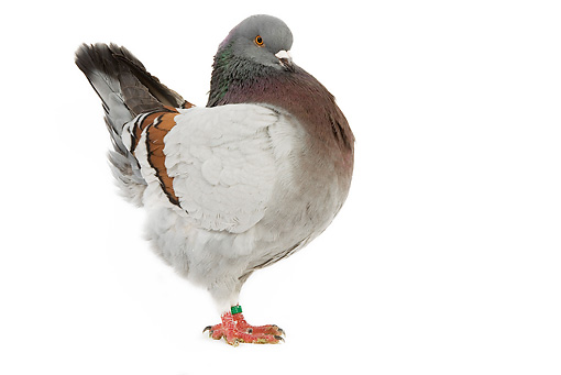 BRD 27 JE0006 01 © Kimball Stock Blue-Barred Schietti Pigeon Standing On White Seamless