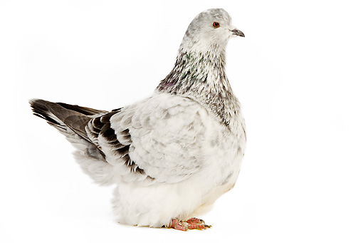 BRD 27 JE0007 01 © Kimball Stock Silver Dapple Pigeon Standing On White Seamless