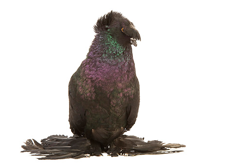 BRD 27 JE0009 01 © Kimball Stock Black German Double-Crested Trumpeter Pigeon Standing On White Seamless