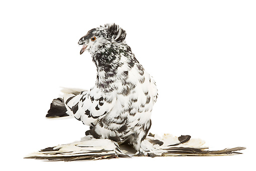 BRD 27 JE0010 01 © Kimball Stock Checkered German Double-Crested Trumpeter Pigeon Standing On White Seamless