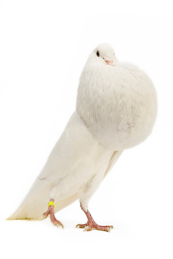 BRD 27 JE0012 01 © Kimball Stock White Norwich Cropper Pigeon Standing On White Seamless