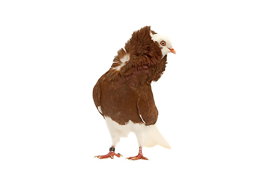 BRD 27 JE0013 01 © Kimball Stock Red Old Dutch Capuchine Pigeon Standing On White Seamless