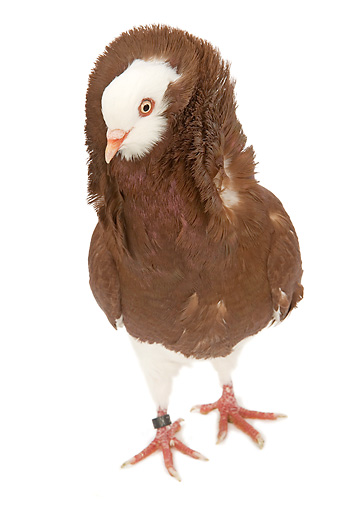 BRD 27 JE0015 01 © Kimball Stock Red Old Dutch Capuchine Pigeon Standing On White Seamless