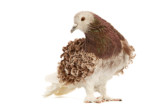 BRD 27 JE0017 01 © Kimball Stock Frillback Pigeon Standing On White Seamless