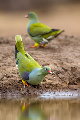 BRD 27 KH0008 01 © Kimball Stock African Green Pigeons Standing At Waterhole