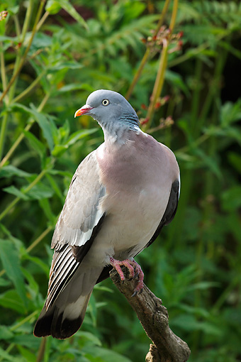 BRD 27 WF0001 01 © Kimball Stock Wood Pigeon Perched On Tree Branch