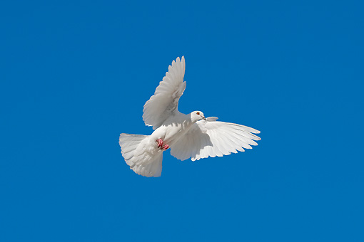 BRD 27 KH0002 01 © Kimball Stock White Pigeon Flying In Blue Sky