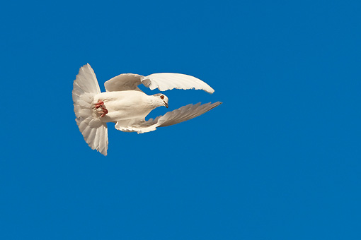 BRD 27 KH0003 01 © Kimball Stock White Pigeon Flying In Blue Sky