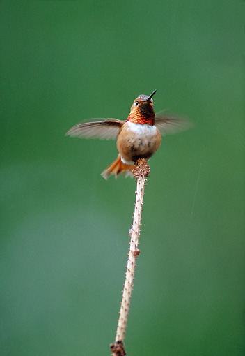 BRD 28 BA0001 01 © Kimball Stock Rufous Hummingbird Perched On Stick Flapping Wings