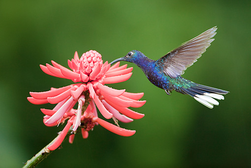 BRD 28 JZ0002 01 © Kimball Stock Violet Sabrewing Hummingbird Drinking Nectar From Flower Costa Rica