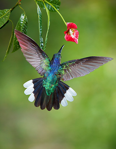 BRD 28 JZ0003 01 © Kimball Stock Violet Sabrewing Hummingbird Drinking Nectar From Flower Costa Rica